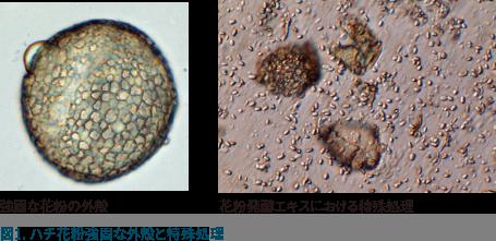 図1:ハチ花粉強固な外殻と特殊処理