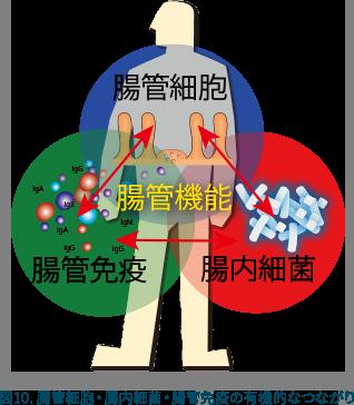 図10:腸管細胞・腸内細菌・腸管免疫の有機的なつながり