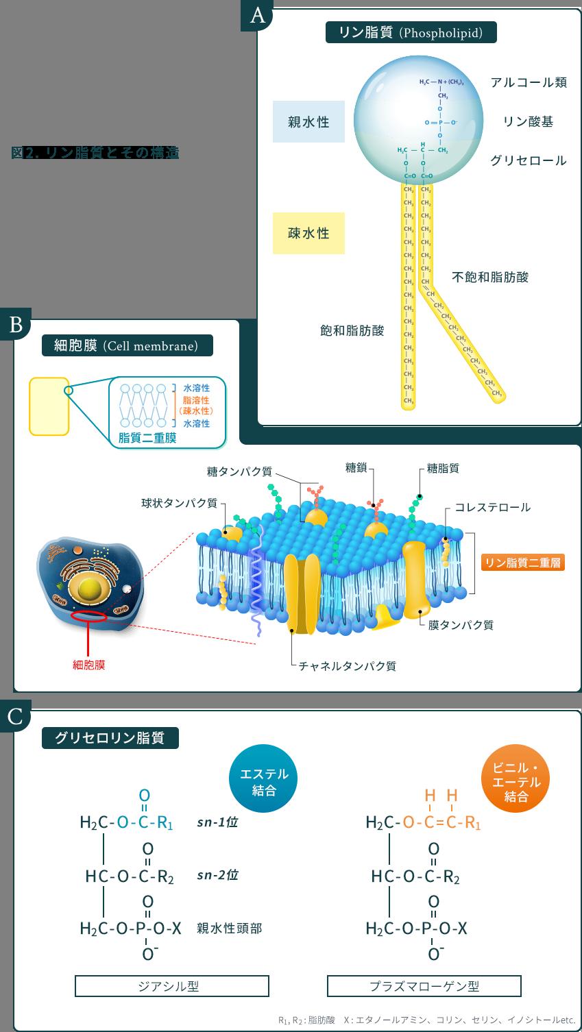 図2. リン脂質とその構造