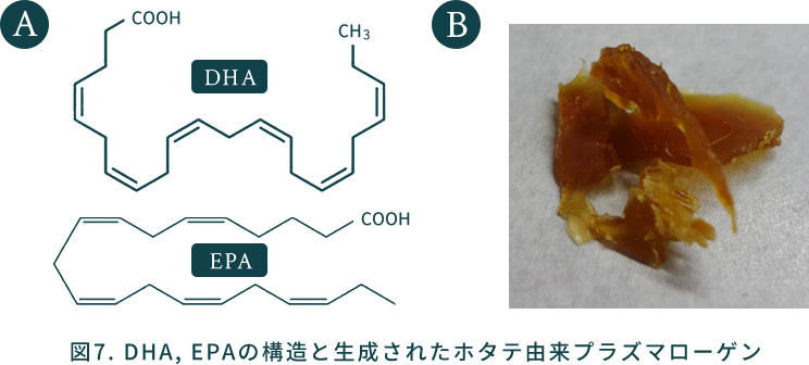 図7. DHA, EPAの構造と生成されたホタテ由来プラズマローゲン